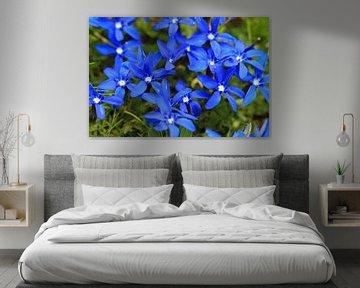 Blauwe bloemen van de voorjaarsgentiaan in Zwitserland van Dennis van de Water