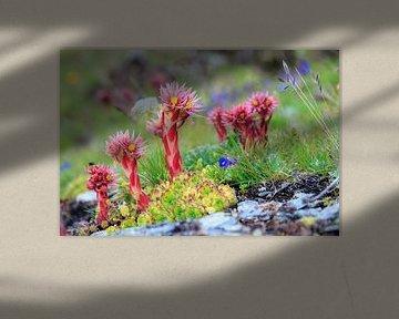 Wildpflanzen und Blumen in den Schweizer Alpen von Dennis van de Water