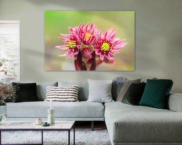 Roze bloemen van de Berghuislook plant sur Dennis van de Water