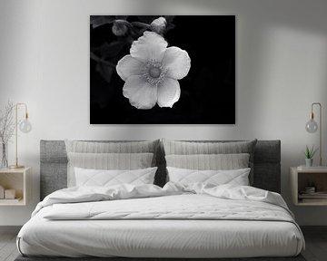 Weiße Schönheit (Weiße Anemone) von Caroline Lichthart