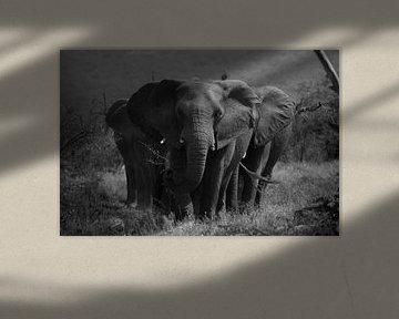Gruppe von Elefanten, schwarz und weiß. von Niels Jaeqx