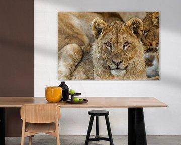 Ein Porträt eines jungen Löwen (Panthera Leo), der den Betrachter mit durchdringenden Augen betracht von Gunter Nuyts
