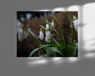 Sneeuwklokjes met regendruppels, Perce-neige avec des gouttes de pluie, Schneeglöckchen mit Regentro von Evelien Brouwer