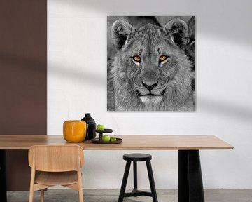 Een portret van een jonge leeuw ( Panthera Leo) die met indringende ogen naar de kijker kijkt. van Gunter Nuyts
