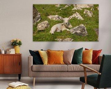 Lammetje relaxend in het Schotse gras von Michel Seelen