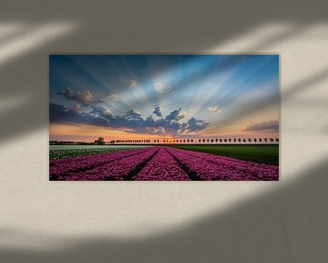 Hollands Tulpenveld, Beemster van Danny Leij