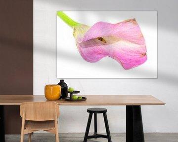 Roze aronskelk van Patrick Herzberg