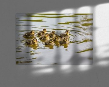 Gruppe junge Stockenten schwimmen im Wasser des Teiches von Ben Schonewille