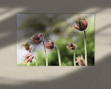 Blume VII - Kuhschelle van Michael Schulz-Dostal