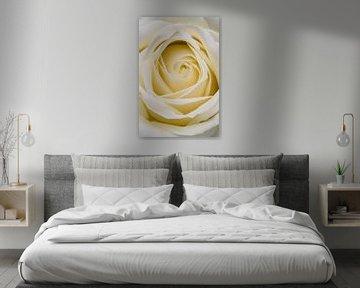 Close up van een witte roos van Arie de Korte