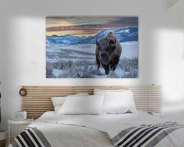 Amerikaanse bizon (Bison bison) in de Lamar vallei bij zonsopkomst, VS, Wyoming, Yellowstone Nationa van Nature in Stock