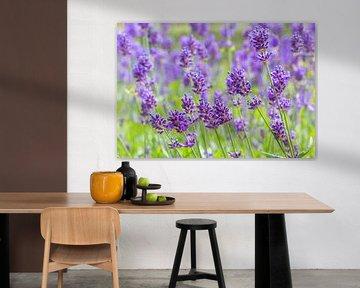 Blühender purpurroter Lavendel blüht auf dem niederländischen Lavendelgebiet von Ben Schonewille