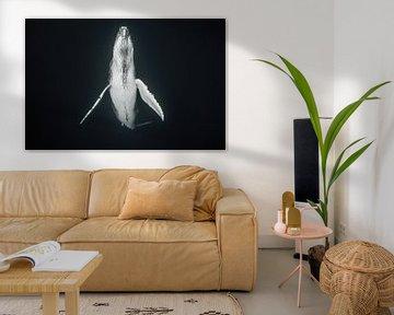 Ein Walkalb taucht langsam auf, um die Lunge mit frischer Luft zu füllen. von Koen Hoekemeijer