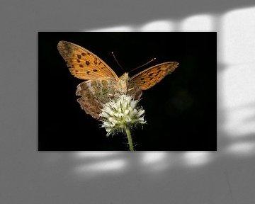 Kaisermantel op bloei in landschapsformaat van Uwe Ulrich Grün