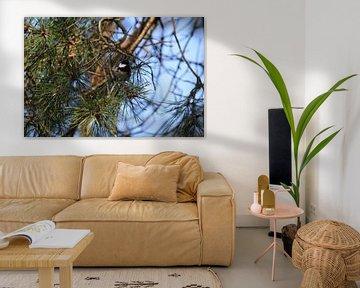 Kohlmeise im Nadelbaum von Berg Photostore