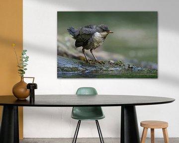 Wasseramsel ( Cinclus cinclus ), flügger Jungvogel von wunderbare Erde