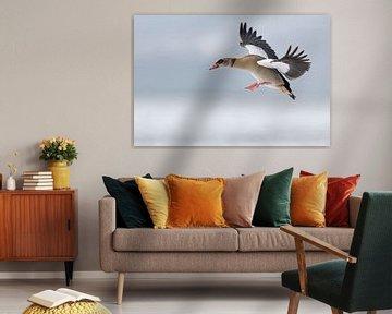 Nilgans ( Alopochen aegyptiacus ), Winter, im Flug kurz vor der Landung von wunderbare Erde