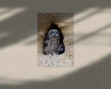 Europaeische Uhus ( Bubo bubo ), Jungvögel an ihrer Bruthöhle von wunderbare Erde