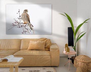 Turmfalke ( Falco tinnunculus ) aufgebäumt auf einem Busch mit roten Beeren (Mehlbeeren) von wunderbare Erde