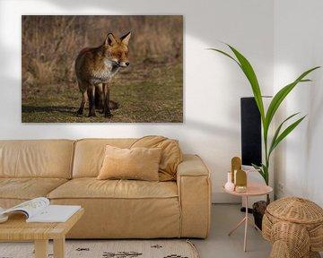 Een vos genietend van de lente zon sur Wesley Klijnstra