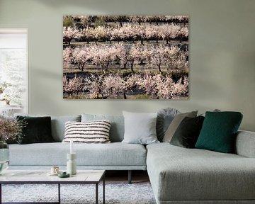 Blühende Mandelbäume von Marian Merkelbach
