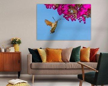 Kolibrischmetterling saugt Nektar aus Blume des Schmetterlingsbuschs von Ben Schonewille