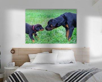 Welpenrottweiler grüßt großen Hund draußen in der Wiese von Ben Schonewille