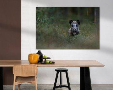 Wildschwein ( Sus scrofa ) in freier Wildbahn im Wald von wunderbare Erde
