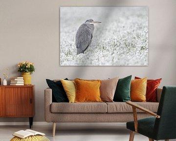Grey Heron ( Ardea cinerea ) in winter, freezing in a snow covered field of winter whea van wunderbare Erde