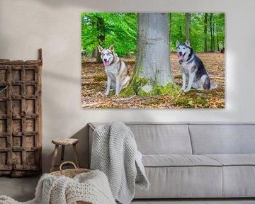 Diese beiden Polarhunde sitzen neben einem Baumstamm im Wald von Ben Schonewille