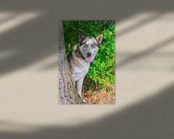 Porträt eines Poolhundes mit blaue Augen im Wald von Ben Schonewille