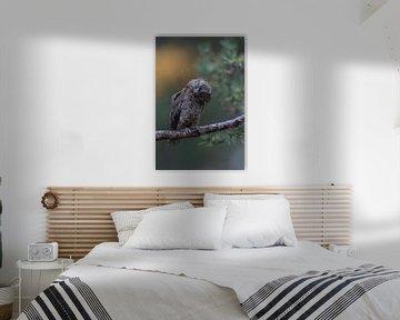 Eurasian Scops Owl ( Otus scops ) shaking off water from its head and plumage, looks funny van wunderbare Erde