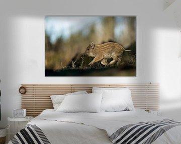Wildschwein - Frischling ( Sus scrofa ) hat's eilig, rennt durch den Wald von wunderbare Erde
