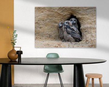 Europaeische Uhus ( Bubo bubo ), drei Jungvögel sitzen zusammen im Eingang zu ihrer Nisthöhle von wunderbare Erde
