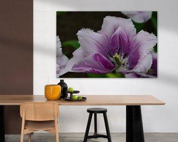 Tulipa Purple Delight van Marcel van Duinen
