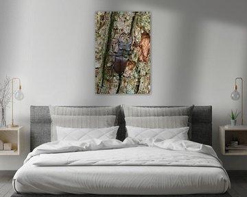 Hirschkäfer ( Lucanus cervus ) klettert eine Eiche hoch von wunderbare Erde