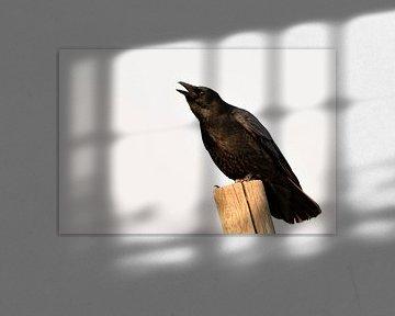 Rabenkrähe ( Corvus corone ) im Winter auf einem Zaunpfahl sitzend, laut rufend, krähend von wunderbare Erde