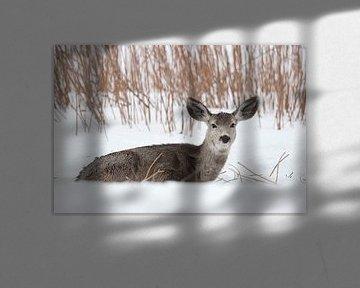 Mule deer ( Odocoileus hemionus ), funny huge ears, in winter, lying, resting in snow van wunderbare Erde