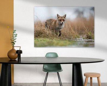 Red Fox ( Vulpes vulpes ) at the edge of a body of water, hunting in marshland van wunderbare Erde
