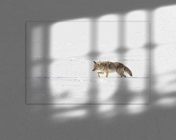 Kojote ( Canis latrans ) im Winter, schleicht durch hohen Schnee, verschlagen, blinzelt mit den Auge von wunderbare Erde