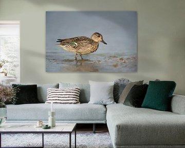 Teal ( Anas crecca ), female duck, breeding dress, leaving the water, walking, full body side view van wunderbare Erde