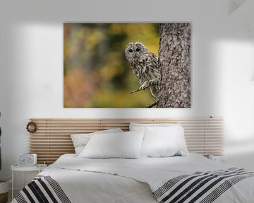 Waldkauz (Strix aluco) sitzt im Baum, schaut mit großen Augen, Herbstfarben, herbstlicher Wald von wunderbare Erde