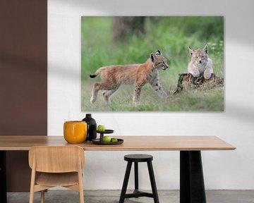 Eurasischer Luchs (Lynx lynx), zwei Jungtiere, Tierkinder, Kätzchen, Kleinkatzen spielen miteinander von wunderbare Erde