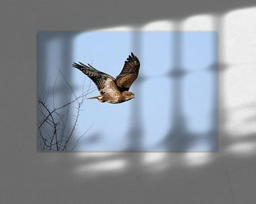 Common Buzzard ( Buteo buteo ), adult, taking off from a leafless bush, starts hunting flight, again van wunderbare Erde