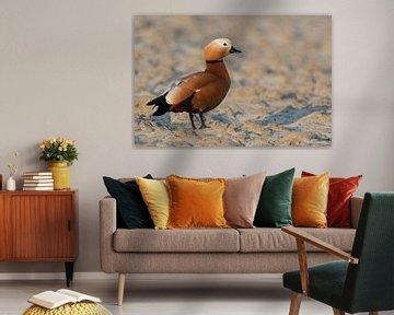 Rostgans ( Tadorne casarca ), Weibchen, im schönsten Licht auf einem Acker, wildlife, Niederrhein, N von wunderbare Erde