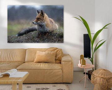 Red Fox ( Vulpes vulpes ) adult , lying, resting on a little knob, watches aside attentively, on a r van wunderbare Erde