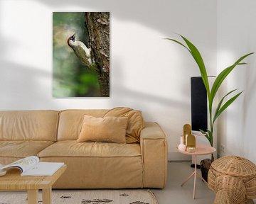 Green Woodpecker ( Picus viridis ), perched on a tree trunk, clinging, in typical pose, wildlife, Eu van wunderbare Erde