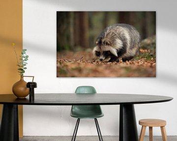 Raccoon Dog ( Nyctereutes procyonoides ), walking through the woods, in autumn, invasive species in  van wunderbare Erde