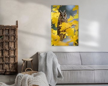 Long-eared Owl ( Asio otus ) roosting in a maple tree surrounded by beautiful autumnal golden leaves van wunderbare Erde