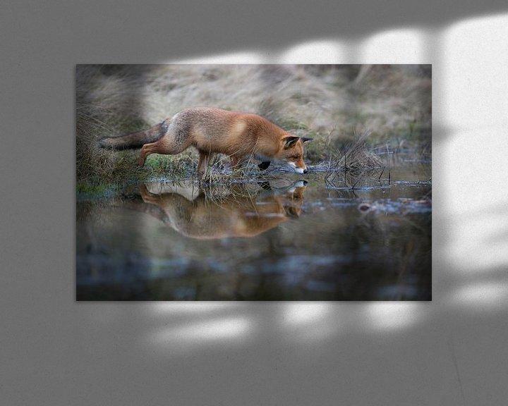 Sfeerimpressie: Rotfuchs ( Vulpes vulpes ) auf der Jagd am Rand eines kleinen Tümpels, Spiegelung im Wasser van wunderbare Erde